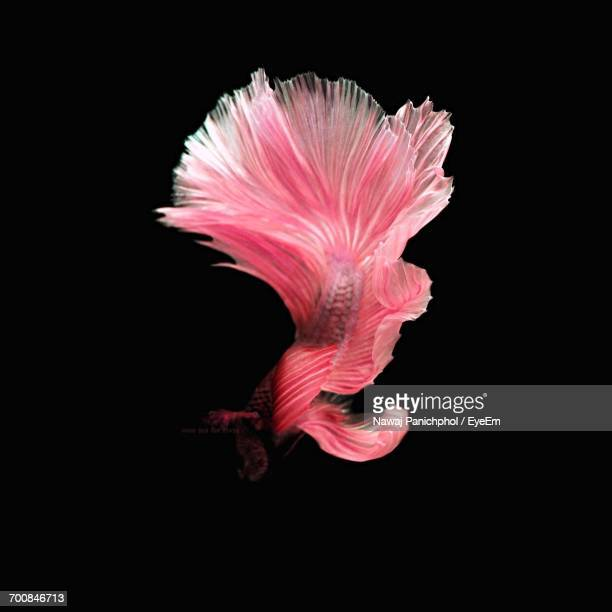 Close-Up Of Pink Siamese Fighting Fish Swimming Against Black Background
