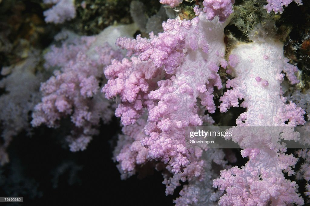 Close-up of Pink Soft Coral underwater, Maldives : Foto de stock