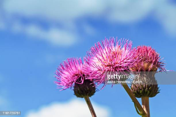 close-up of pink thistle flower against sky - heinovirta stock photos and pictures