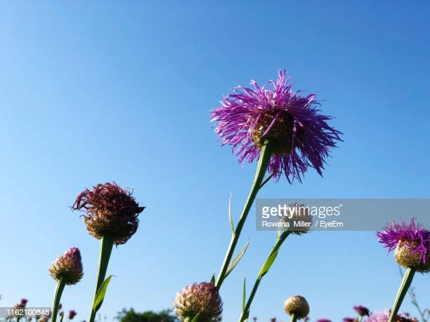 close-up of pink thistle flowers against clear sky - rowena miller stock photos and pictures