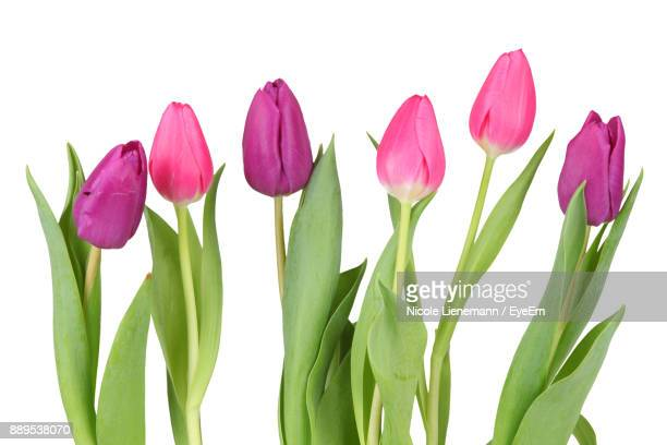 close-up of pink tulips against white background - tulipano foto e immagini stock