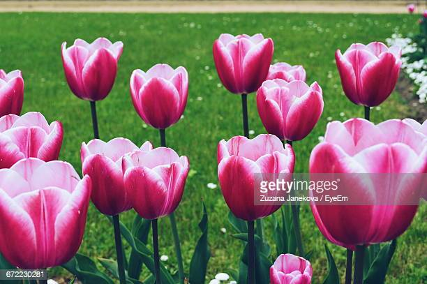 Close-Up Of Pink Tulips Blooming In Park