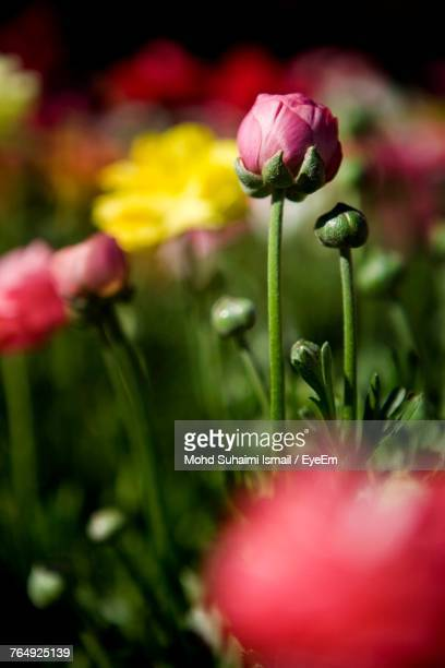 close-up of pink tulips blooming outdoors - suhaimi 個照片及圖片檔