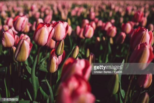 close-up of pink tulips growing on field - bortes stockfoto's en -beelden