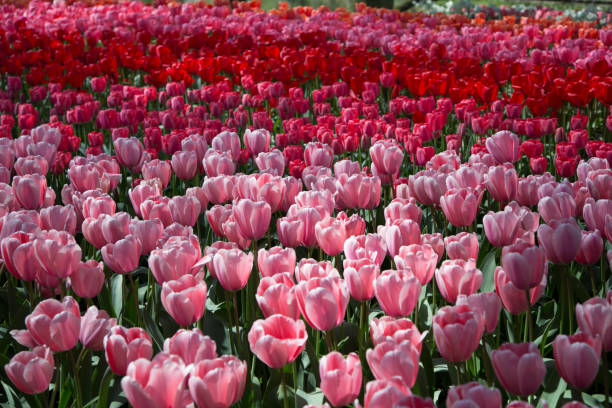 Close-up of pink tulips in field,Lisse,Netherlands