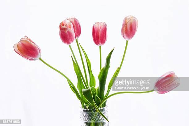 Close-Up Of Pink Tulips In Vase Against White Background