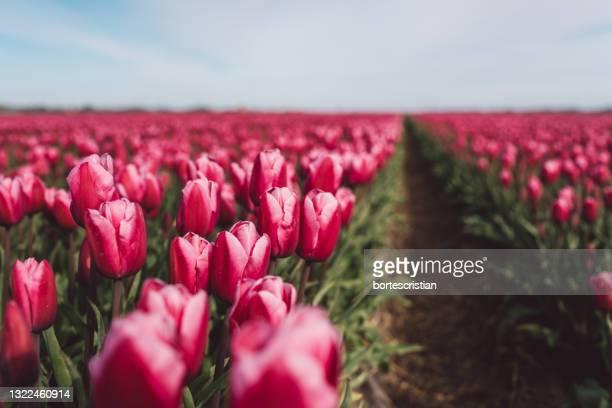 close-up of pink tulips on field against sky - bortes fotografías e imágenes de stock
