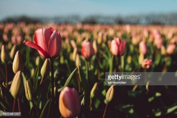 close-up of pink tulips on field - bortes stockfoto's en -beelden