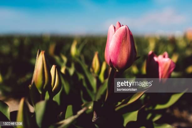 close-up of pink tulips - bortes stockfoto's en -beelden