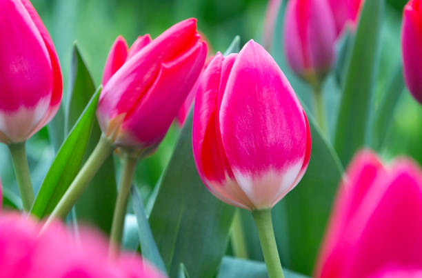 Close-up of pink tulips,Amsterdam,Netherlands