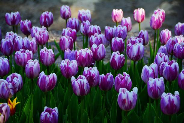 Close-up of pink tulips,Canada
