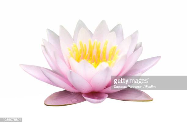 close-up of pink water lily against white background - fiore di loto foto e immagini stock