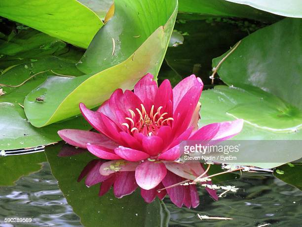 Close-Up Of Pink Water Lily Blooming In Pond