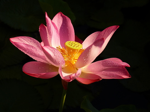 Close-Up Of Pink Water Lily - gettyimageskorea