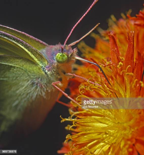 close-up of pink-edged sulfur butterfly (colias interior) with probosis necturing on orange hawkweed - ed reschke photography imagens e fotografias de stock