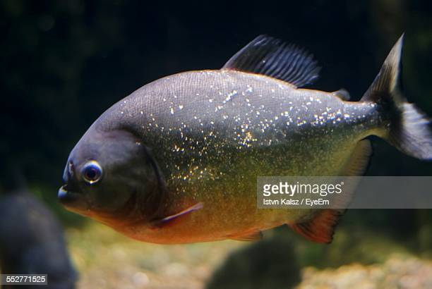 Close-Up Of Piranha In Aquarium