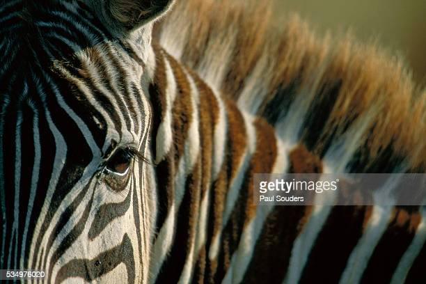 Close-up of Plains Zebra