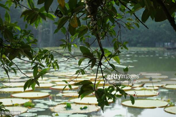 close-up of plant against lake - bogor stock pictures, royalty-free photos & images