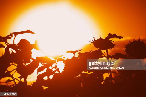 close-up of plant against sky during sunset - cetkauskas stock pictures, royalty-free photos & images