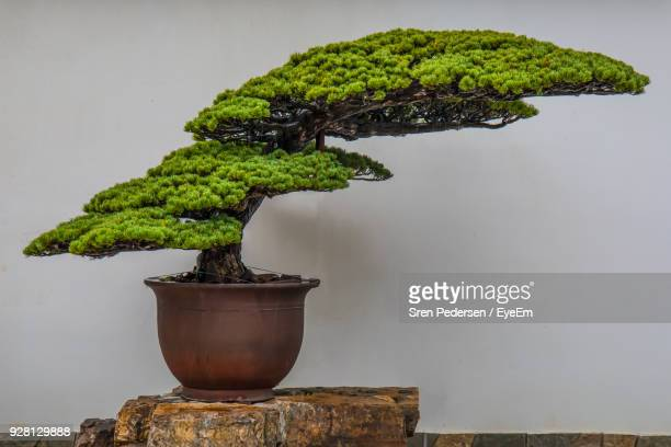close-up of plant against wall - bonsai tree stock pictures, royalty-free photos & images