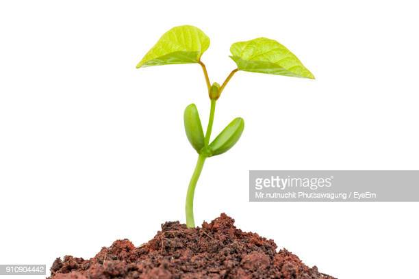close-up of plant against white background - sapling stock photos and pictures