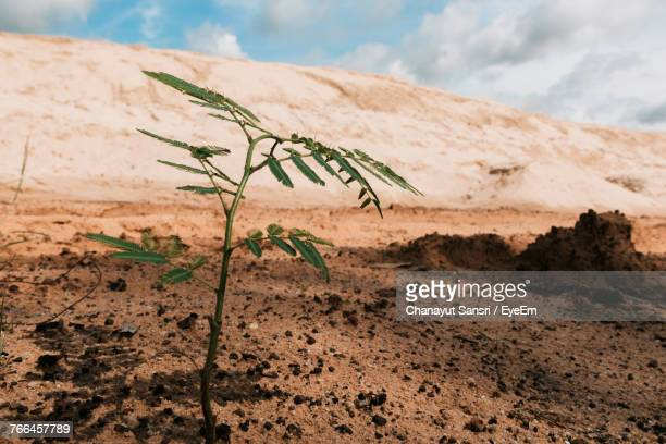 close-up of plant growing on sand against sky - chanayut stock photos and pictures