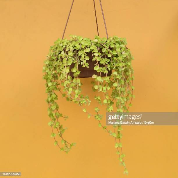 Close-Up Of Plant Hanging Against Yellow Wall