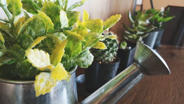 Close-Up Of Plant In Water Can By Succulent Plant On Table