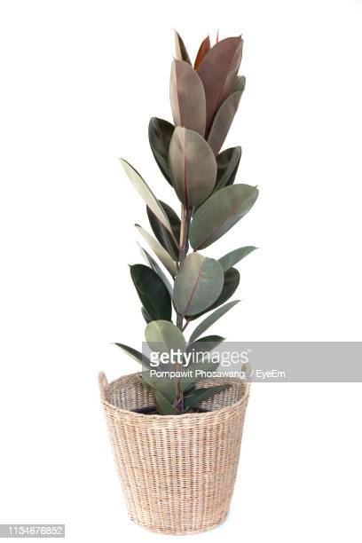 close-up of plant in wicker pot against white background - houseplant stock pictures, royalty-free photos & images