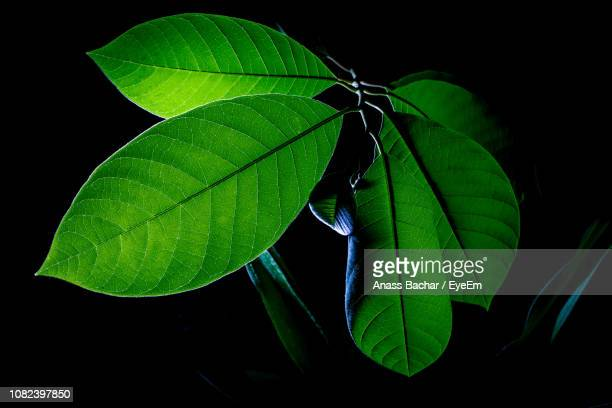 Close-Up Of Plant Leaves Against Black Background