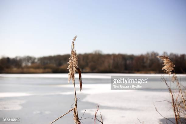 Close-Up Of Plant On Snow Field Against Sky