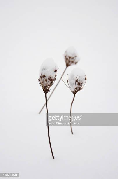 close-up of plant over white background - cotton stock pictures, royalty-free photos & images