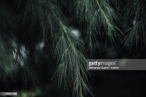 close-up of plant - coniferous stock pictures, royalty-free photos & images
