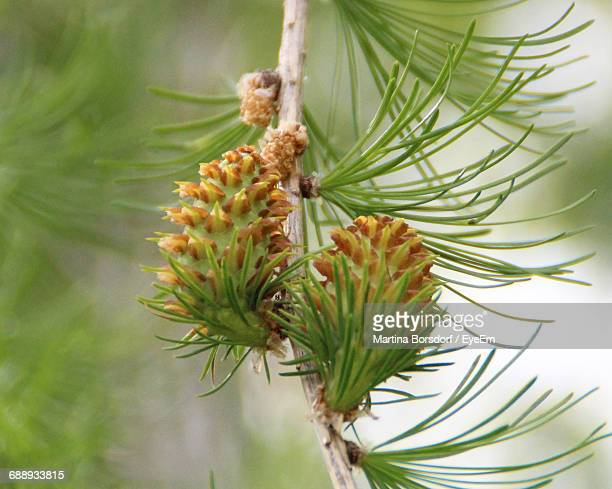 close-up of plant - larch tree stock pictures, royalty-free photos & images