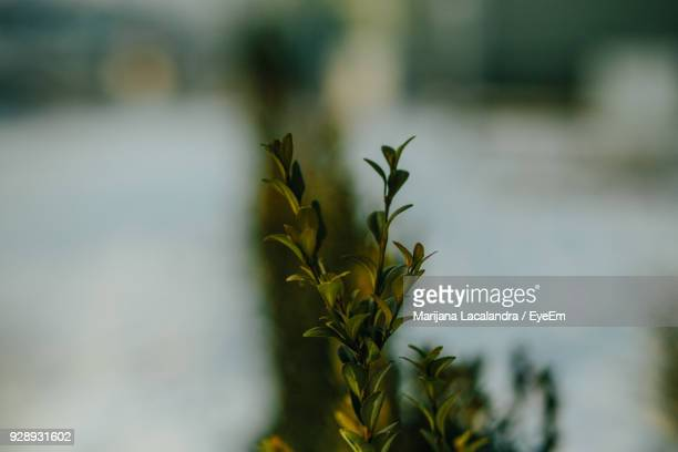 close-up of plant - marijana stock pictures, royalty-free photos & images