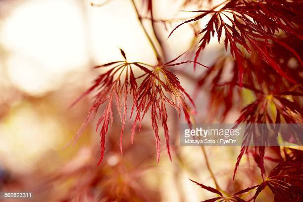 close-up of plant with red leaves - maebashi city stock photos and pictures