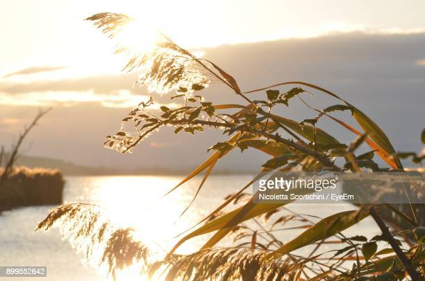 Close-Up Of Plants Against Lake During Sunset