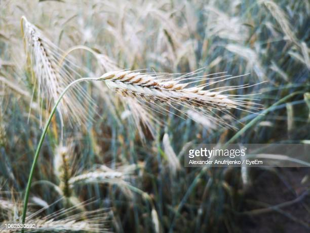 close-up of plants growing at farm - rye stock photos and pictures