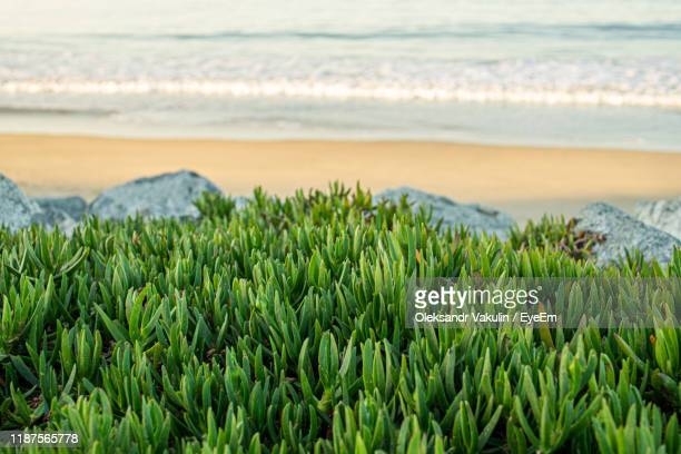 close-up of plants growing on beach - oleksandr vakulin stock pictures, royalty-free photos & images