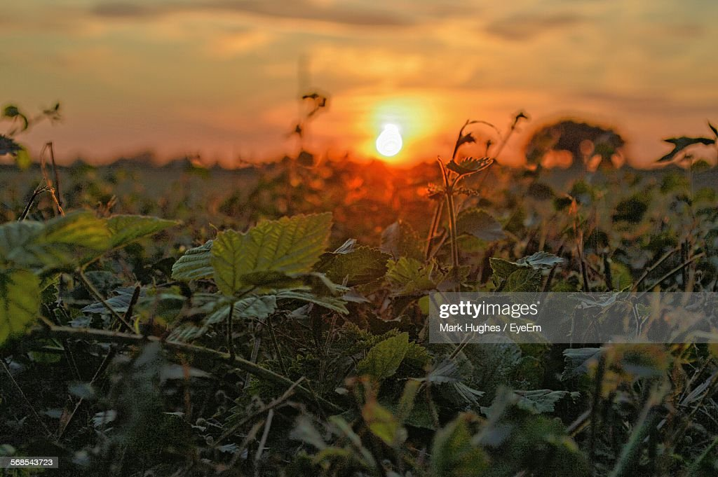 Close-Up Of Plants Growing On Field Against Sky During Sunset : Stock Photo