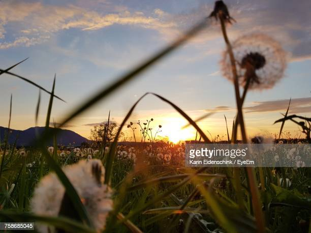close-up of plants growing on field against sky during sunset - karin eidenschink stock-fotos und bilder