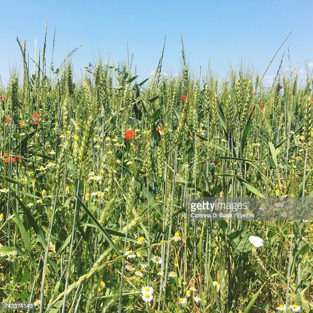 close-up of plants growing on field against sky - san miniato stock pictures, royalty-free photos & images
