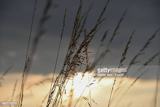 close-up of plants growing on field at sunset - reed grass family stock photos and pictures