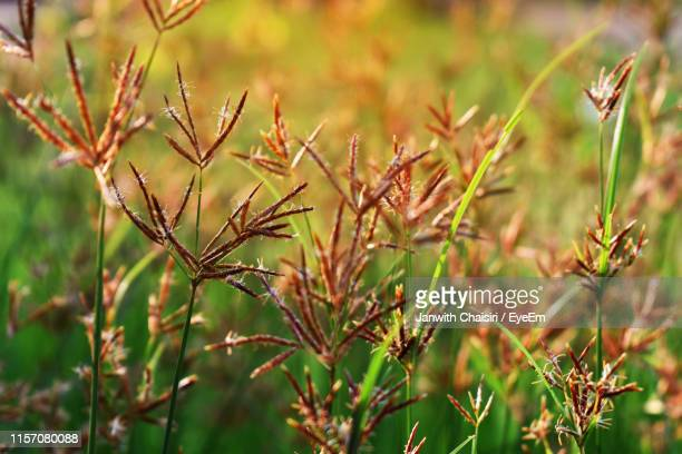 close-up of plants growing on field - thai mueang photos et images de collection
