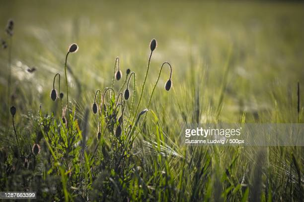 close-up of plants growing on field,germany - susanne ludwig stock pictures, royalty-free photos & images