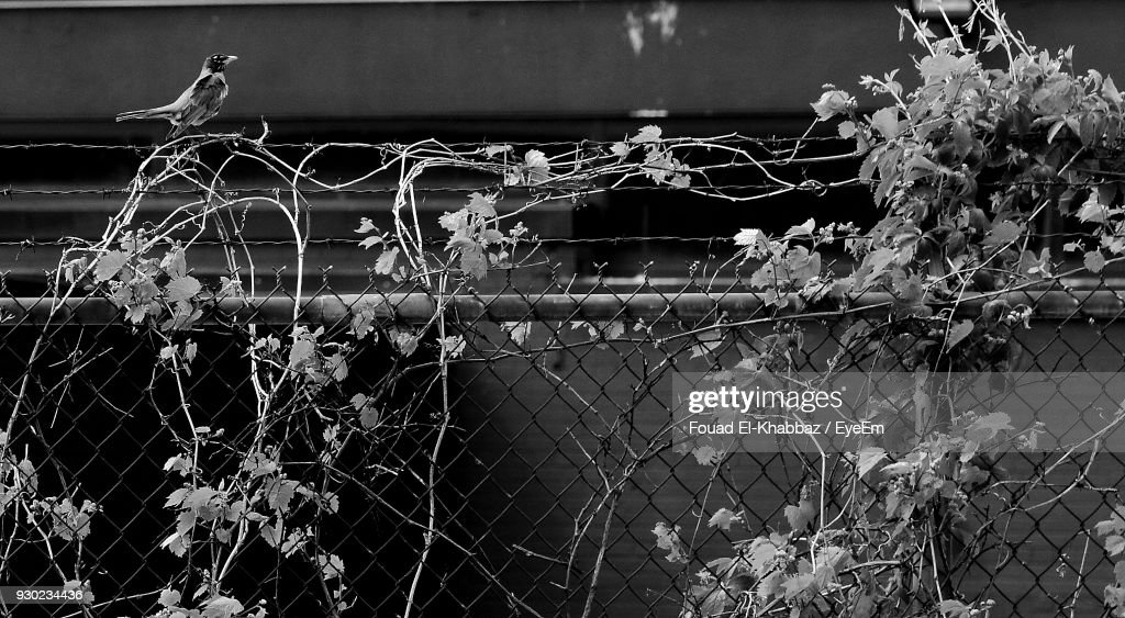 Close-Up Of Plants On Chainlink Fence : Stock Photo