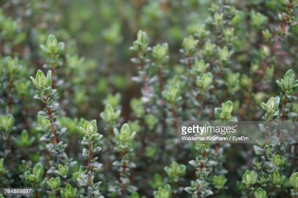 close-up of plants - thyme stock pictures, royalty-free photos & images