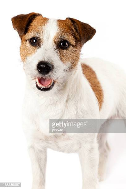 Close-up of playful Jack Russel terrier on white background