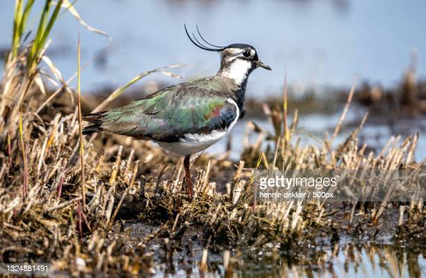 close-up of plover perching on lake,zaandam,netherlands - north holland stock pictures, royalty-free photos & images