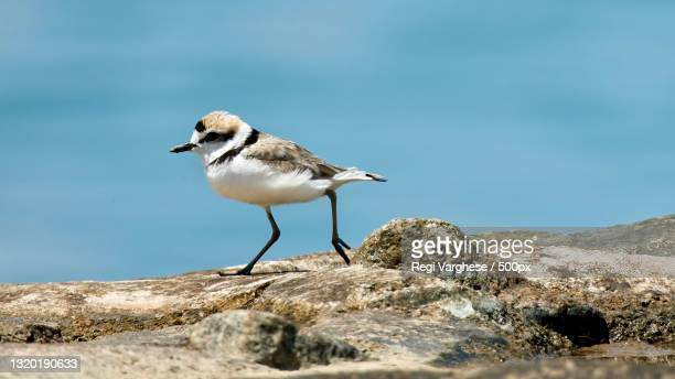 close-up of plover perching on rock - kentish plover stock pictures, royalty-free photos & images